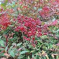 ナンテン(南天):赤実 樹高80cm根巻き[難を転ずる厄除けの木]