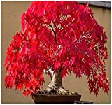 イロハモミジ盆栽種子レッド日本のメープルツリー壮大な葉の色-20種子R020
