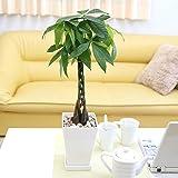 【ブルーミングスケープ】パキラ 編みタイプ 5号 スクエアプラスチック鉢+鉢皿付き|小型サイズの観葉植物