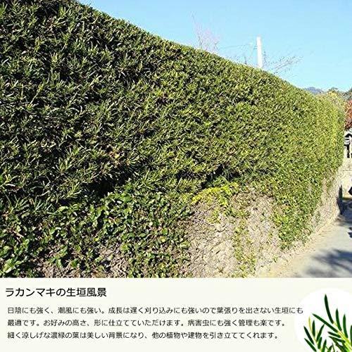 ラカンマキ 根巻き苗 庭木