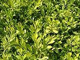 クサツゲ 苗木 庭木 常緑樹 グランドカバー 低木