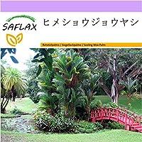 SAFLAX - ヒメショウジョウヤシ - 10 個の種。 - Cyrtostachys renda