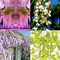 100PCS /バッグ:100PCS紫藤シーズガーデンは観賞用植物の花My8Lクライミング
