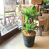 ドラセナ・マッサンゲアナ(幸福の木)6号鉢サイズ