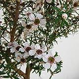 ティーツリー:マヌカ(白~薄桃花)3号ポット 2株セット[はちみつで有名なニュージーランドの常緑樹]