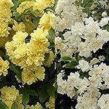 モッコウバラ黄花・白花八重