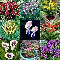 17:100ピースレア盆栽カラフルなオランダカイウユリの花の種ホームガーデン植物の種
