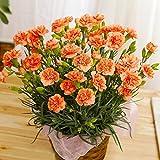 母の日 カーネーション オレンジ 4号鉢 鉢花 早割 フラワーギフト プレゼント 花