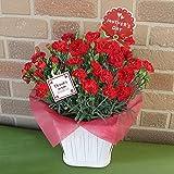 【母の日限定】母の日の定番:特選赤いカーネーションの鉢植え・ディアママ: