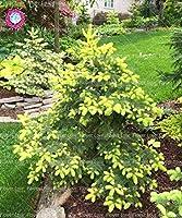 種子パッケージ: 50PCS Rのruce PaのツリーコートヤードツリーガールSdのギフト
