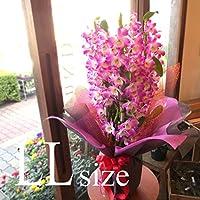 デンドロビューム LLサイズ 鉢植え ゴージャスで華やか 洋蘭 洋ラン 薫る花 デンドロビウム フラワー 鉢花 花鉢 お歳暮 御歳暮