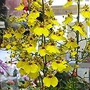 オンシジューム(オンシジウム)【生花】.3本立て 百万ドル 黄色の蘭の鉢植えギフト