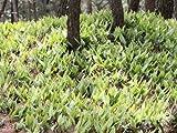 【6か月枯れ保証】【山野草】ヒトツバ 10.5cmポット