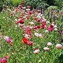 シャーレポピー花色ミックス3号ポット6株セット 華やかな花壇の花 ヒナゲシ 虞美人草 ノーブランド品