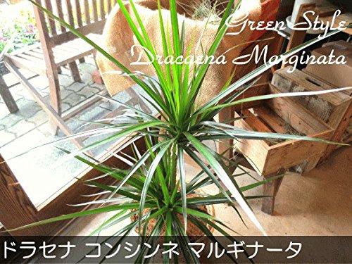 ドラセナ コンシンネ マルギナータ(真実の木)6号鉢サイズ 鉢植え