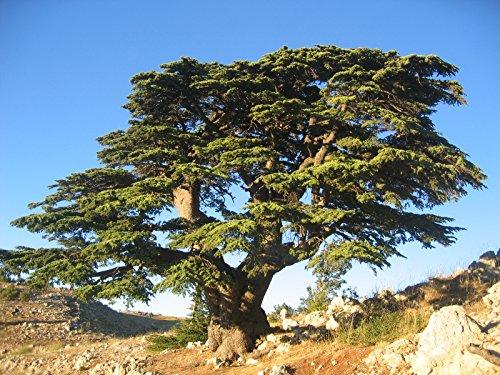 レバノンシダー(レバノン杉) 2016年産 種子10粒 Cedar of Lebanon 10 seeds 2016 crop