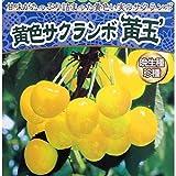 サクランボ:黄玉4.5号ポット[珍しい黄色いさくらんぼ][苗木]
