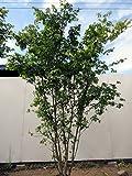 イロハモミジ 株立 樹高2.0m以上(根鉢含まず)