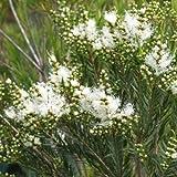 メラレウカ:スノーインサマー5号ポット[真綿のような白花を咲かせる常緑樹][庭木・鉢植えに!] ノーブランド品