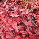 マット植物:オタフクナンテンのマット25cm×25cm 8枚セット[お多福南天・おかめ南天] ノーブランド品