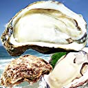 天然岩牡蠣(活) 1kg 小サイズ(150g-250g 4〜6個) 1kgセット 2セット以上ご購入で1セットプレゼント