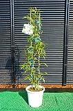 【バラ苗】 モッコウバラ(白花) 鉢苗 白色の花が咲くつる性バラ♪