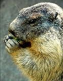 マーモット Portrait of an Alpine Marmot Eating a Snack Journal: Lined Notebook/Diary