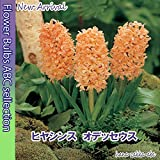 【甘い香りに明るいオレンジ色】球根・ヒヤシンス オデッセウス 2球