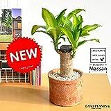LAND PLANTS 幸福の樹 ドラセナ・マッサン モスポット鉢