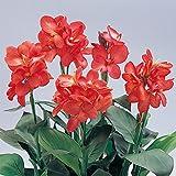 カンナ:トロピカル コーラル3号 4株セット[草丈40cmで開花するわい性タイプ] ノーブランド品