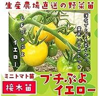てしまの苗 ミニトマト苗 プチぷよイエロー 9cmポット 断根接木苗 野菜苗