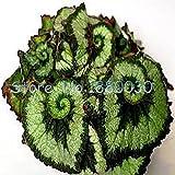 9色が美しいベゴニアの花の種の花鉢植えの盆栽中庭のバルコニーコリウスの種子を30個
