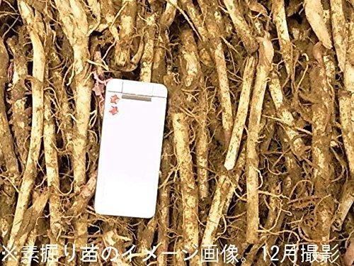 山菜苗:ヤマフキ(山蕗) 素掘り苗5株【紫桜館山の花屋】