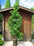 ヤマモモ☆樹高1.8m前後 庭木に最適です!