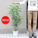 LAND PLANTS 【観葉植物】 シマトネリコ H100cm ( 白色プラスチック鉢 7号サイズ)Garden green series
