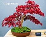 鉢植え植物の種子盆栽種子赤もみじイロハモミジAtropurpureumツリーFRESH種子20PCS W054