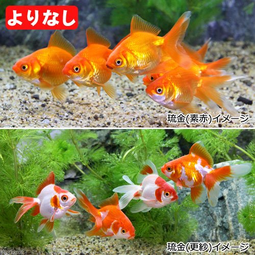 charm(チャーム) (国産金魚)よりなし(無選別) 琉金(リュウキン)素赤~更紗(3匹) 【生体】