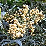 ナンテン(南天):白実 樹高70~90cm根巻き[難を転ずる厄除けの木] ノーブランド品
