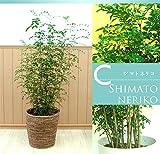 【9種類から選べる】8号サイズ観葉植物 鉢カバー付き (シマトネリコ)