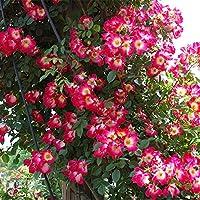 バラ苗 カクテル 国産新苗植え替え6号スリット鉢 つるバラ(CL) 四季咲き中輪 複色系