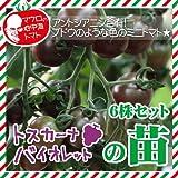 【5月下旬頃発送】マウロの地中海トマト トスカーナバイオレットの苗 6株セット