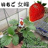 いちご 苗 女峰 にょほう 3ポットセット イチゴ