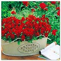 純正! 100個Aパックパンジー(ビオラうた)は家庭菜園のSSのための盆栽のように、室内珍しいフローレス:1