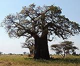 バオバブ 代表種 アダンソニア・ディギタータ Adansonia digitata 星の王子様 種子