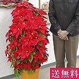 高さ1メートル花で覆い尽くされたポインセチア「タワー9号・冬ハナビ」