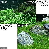 charm(チャーム) (水草 熱帯魚)前景 水上葉(無農薬)2種セット グロッソスティグマ(1パック)+ヘアーグラス ショート(2束分) 【生体】