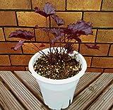 シェードガーデンの彩りに 宿根草 ヒューケラ シュガーベリー 5号鉢 2年育成物