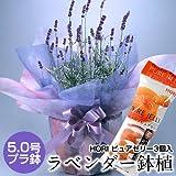 ラベンダー 鉢植え 5号鉢花&夕張メロンピュアゼリー 北海道からハーブの香り 父の日ギフトフワラー ラッピング
