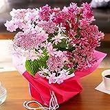 母の日 あじさい ダンスパーティー ピンク 2色植え 鉢花 フラワーギフト プレゼント 紫陽花 アジサイ