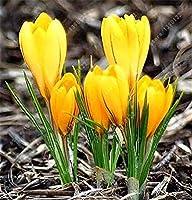 100個のクロッカスサフランの種、イランサフラン、(サフラン球根ではない)、花の種、ハッピージョイフラワー、ホームガーデンの盆栽鉢植え:14